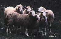 pecore036w ©rossviti