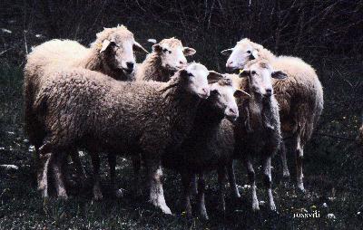 pecore036wrossviti